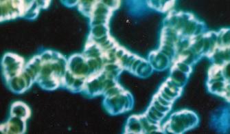 Blodanalyse – mikroskopiering – mørkefelt